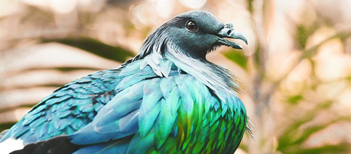 nicobar-pigeon-1149381_640